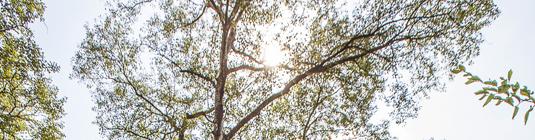 cime des arbres